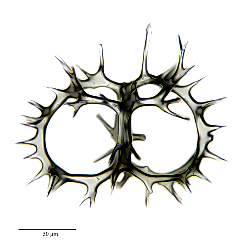 Tricyclidium cf. dictyospris Haeckel
