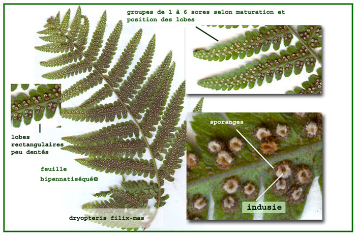 Dryopteris filix-mas - sporanges et spores