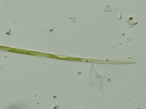 Closterium aciculare T. West, 1860