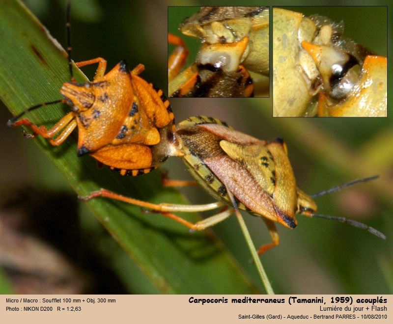 Carpocoris mediterraneus Tamanini 1959